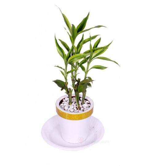 LUCKY BAMBOO DRACAENA DESK PLANT WITH GOLDEN WHITE CLAY PLANTER